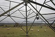 A flock of grazing sheep eat grass in a field beneath an electricity pylon in a North Somerset field.