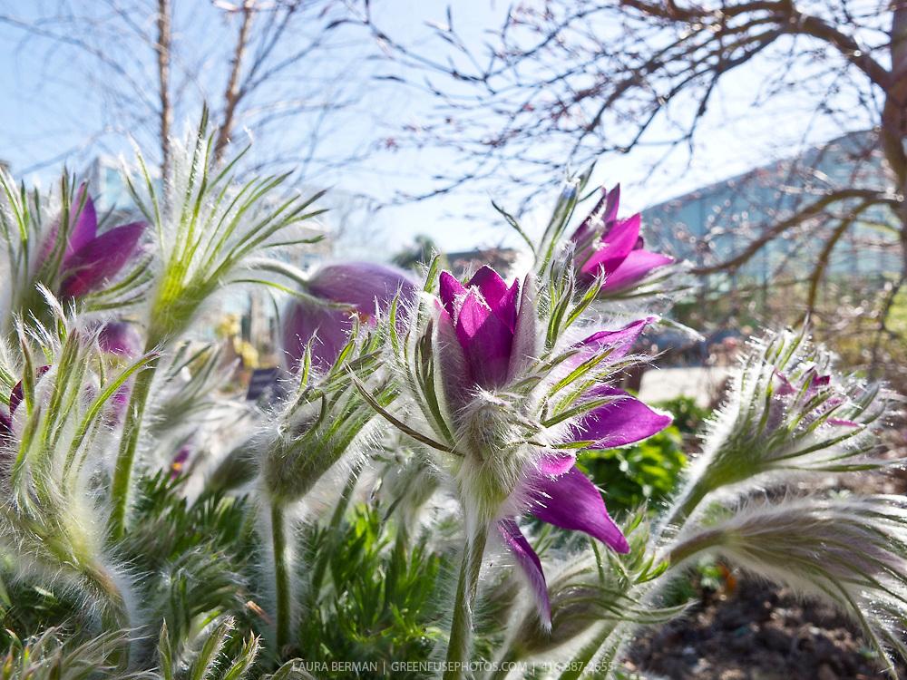 Early spring Pasque Flower (Anemone pulsatilla or Pulsatilla vulgaris)