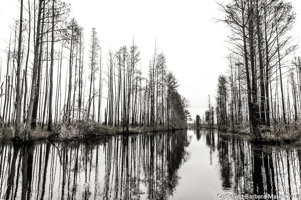Winter trees line the edge of a canal in a swamp.