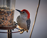 Red-bellied Woodpecker at the feeder. Image taken with a Nikon D5 camera and 600 mm f/4 VR telephoto lens (ISO 720, 600 mm, f/4, 1/640 sec)