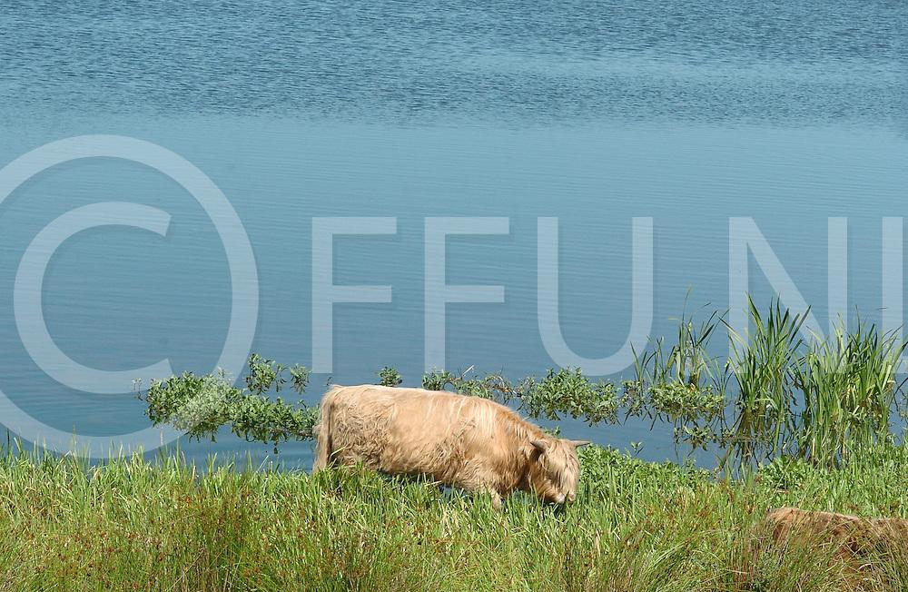 060717, hardenberg, ned,<br /> Schotse Hooglanders in de uiterwaarden van de Vecht zoeken af en toe verkoeling,<br /> fotografie frank uijlenbroek&copy;2006 michiel van de velde
