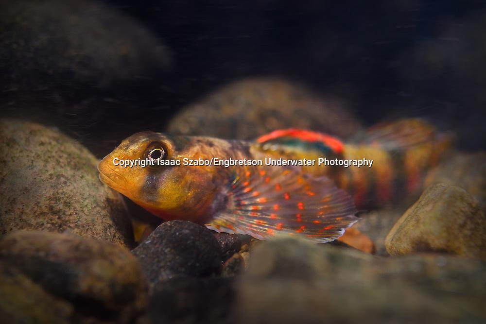 Kanawha Darter<br /> <br /> Isaac Szabo/Engbretson Underwater Photography
