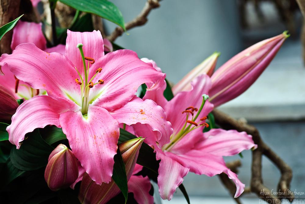 Lilium Lily 'Pink Expresion' Keukenhof Spring Tulip Gardens, Lisse, The Netherlands.