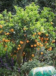 Orange tree laden with fruit. The Viking Cruises Garden of Inspiration, RHS Chelsea Flower Show 2017. Design: Sarah Eberle, Sponsored by: Viking Cruises