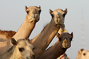 Early morning is the busiest time at the Camel Market. Attentive camels.