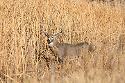 Whitetail deer during autumn rut Whitetail buck during the autumn rut