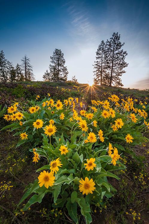 Balsamroot on Gobblers Knob, Thompson Ridge, Okanogan-Wenatchee National Forest, Washington.