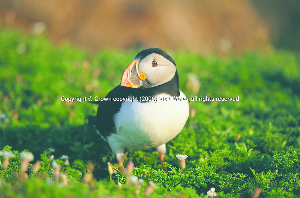 Atlantic Puffin on Skomer<br />