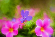 close-up iimage of pink and purple flowers in soft focus