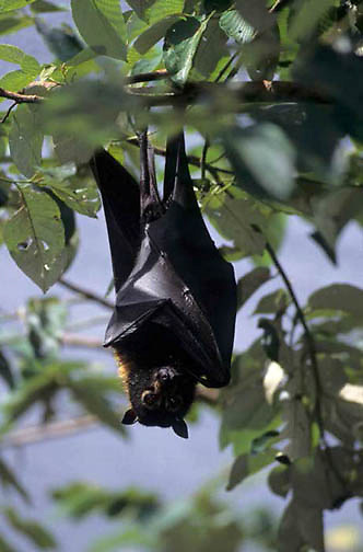 Spectacled Flying Fox (Pteropus conspicillatus) Northeast Australia.