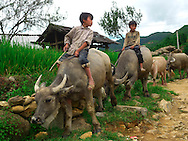 Children riding water bufallos at nortthern Vietnam countryside