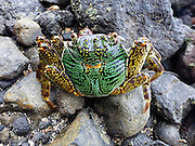 A Sally Lightfoot crab, Kadavu, Fiji