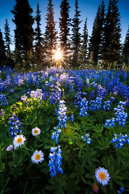 The sun breaks through trees to backlight a meadow of wildflowers in Mount Rainier National Park, Washington.