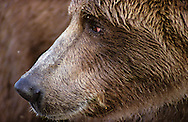USA Vereinigte Staaten Von Amerika: Grizzlybär (Ursus arctos horribilis), Porträt, Nahaufnahme, Katmai Nationalpark, Alaska | USA, United States Of America: Brown bear (Ursus arctos horribilis), portrait, close-up, Katmai National Park, Alaska |