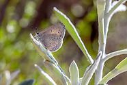 Celastrina e. echo - Pacific Azure