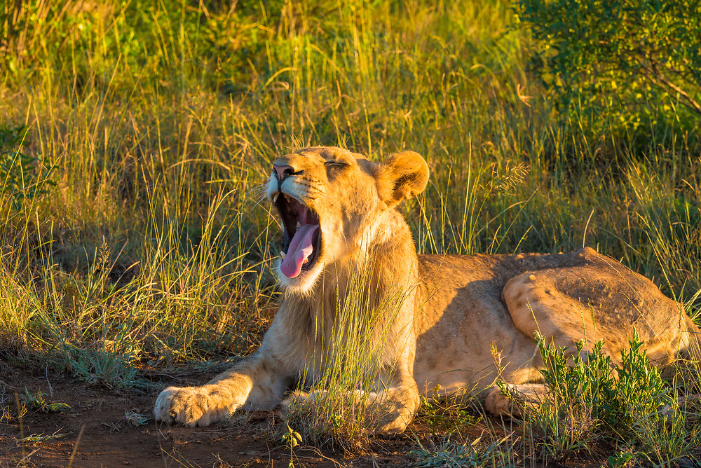 A lioness in the African bush opens mouth wide while yawning.
