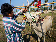 17 FEBRUARY 2018 - BAN LOT, PHETCHABURI, THAILAND: A man feeds energy drinks to his racing oxen before a race in Ban Lat, a community about three hours south of Bangkok. The ox cart races are almost 100 years old, and date back to the reign of King Rama V. The races are run on a 100 meter long straightaway course.   PHOTO BY JACK KURTZ