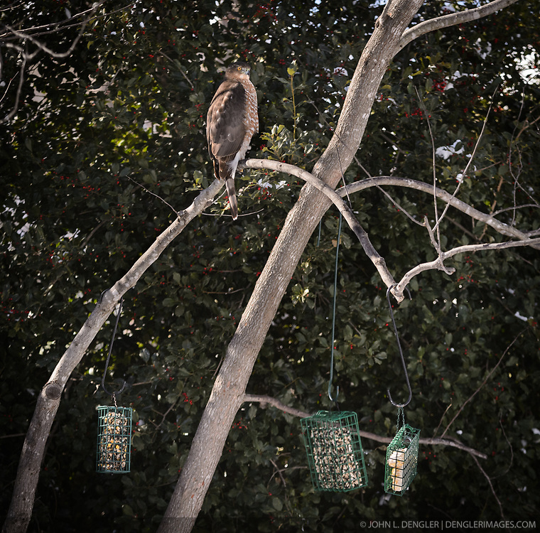 A broad-winged hawk waits patiently for a bird to approach backyard bird feeders in Springfield, Mo. EDITORS NOTE: The hawk was photographed very near to the bird feeder. This should not be considered a wild/natural situation due to the presence of the backyard feeder. Caption for this photo must  indicate that the photo of the hawk was taken in a backyard near a bird feeder.