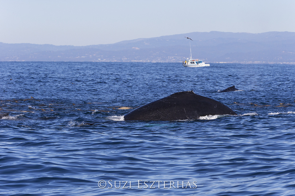 Humpback Whale<br /> Megaptera novaeangliae<br /> Feeding on anchovy with California sea lions (Zalophus californianus)<br /> Monterey Bay, California
