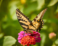 Tiger Swallowtail Butterfly. Image taken with a Nikon 1 V3 camera and 70-300 mm VR lens