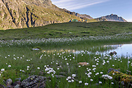Wollgras und Morgensonne an den Flanken des Piz Platta und auf dem Piz Arblatsch in der N&auml;he des Lai Neir im Val Bercla nahe von Bivio an einem sch&ouml;nen Tag im August, Surses, Graub&uuml;nden, Schweiz<br /> <br /> Cotton grass and morning sun on the slope of Piz Platta and the Piz Arblatsch in the Val Bercla around the lake Lai Neir close to the village of Bivio on a nice, sunny day in August, Surses, Grisons, Switzerlan