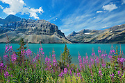 Fireweed along Bow Lake with Crowfoot Mountain in background<br /> Banff National Park<br /> Alberta<br /> Canada