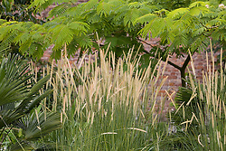 Pennisetum macrourum, African feather grass,  with Albizia julibrissin 'Rosea' in the background at Pan Global nursery