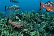 Black Grouper (Mycteroperca bonaci)<br /> Hol Chan Marine Reserve<br /> near Ambergris Caye and Caye Caulker<br /> Belize Barrier Reef, second largest barrier reef in the world<br /> Belize<br /> Central America
