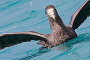 Northern Giant Petrel, New Zealand