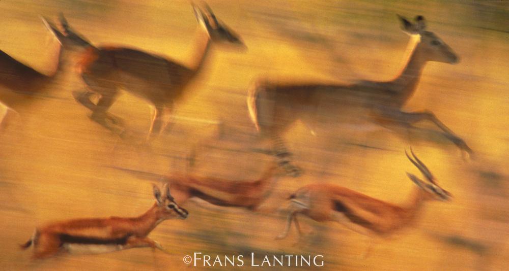 Thomson's gazelles and impalas running (composite), Gazella thomsonii, Kenya