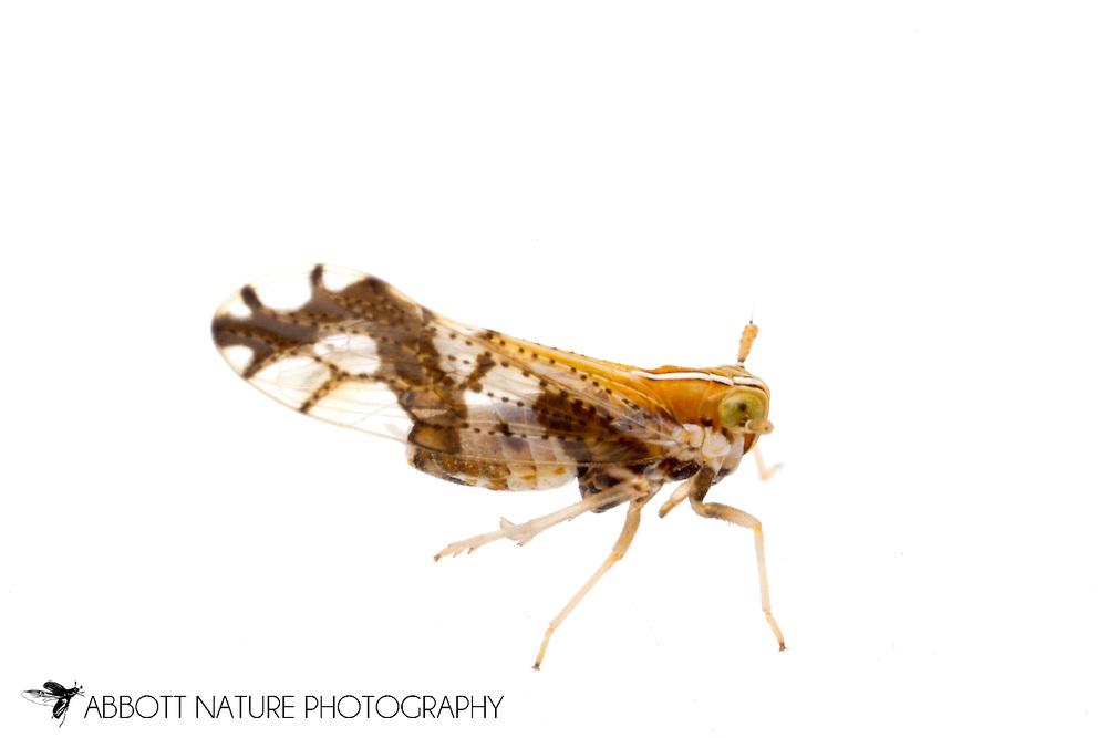 Delphacid Planthopper (Liburniella ornata)<br /> ARKANSAS: Polk Co.<br /> Ouachita National Forest; Rich Mountain off Hwy 18<br /> 1-3.July.2015<br /> J.C. Abbott #2762 &amp; K.K. Abbott