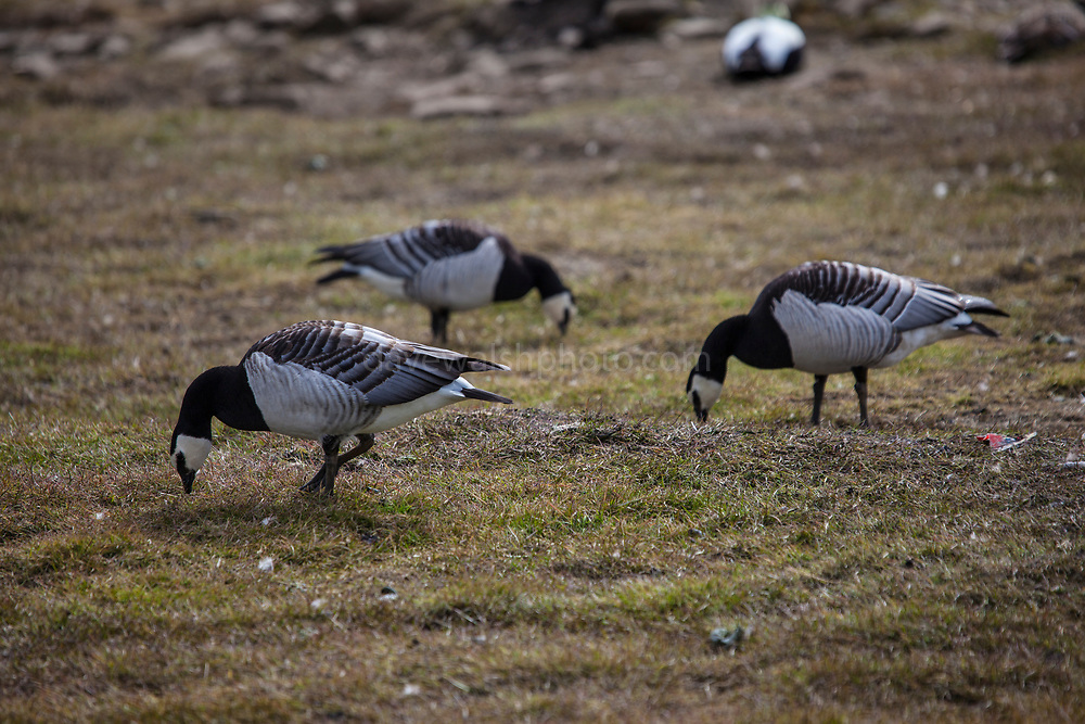 Barnacle geese,  Branta leucopsis, near Longyearbyen, on the Arctic island of Spitsbergen, Svalbard.