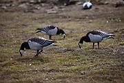 Barnacle geese,  Branta leucopsis, near Longyearbyen, on the Arctic island of Spitsbergen, Svalbard.