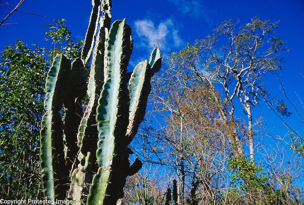 Xerophytic vegetation (caatinga) in Chapada Diamantina, Bahia State, Brazil