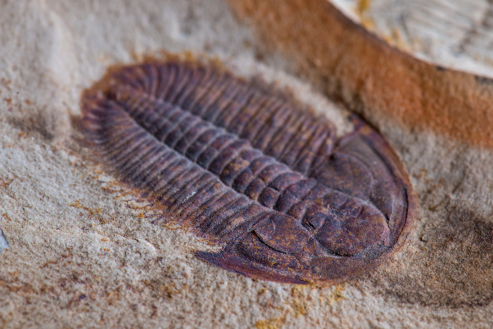 Xystridura templetonensis (sagittal length: 33mm) is a rare Australian trilobite from the Middle Cambrian strata of central Queensland