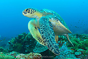 A Green Sea Turtle, Chelonia mydas, swims over a coral reef in the Galapagos Islands, Ecuador.