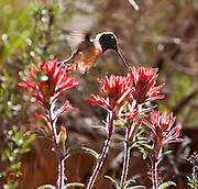 A flying hummingbird sips nector from Indian Paintbrush flowering in Grand Canyon National Park, Arizona, USA.