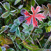 Leaves frosted from cold over night temperatures in Aspen, Colorado.