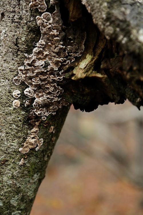 Growth on a tree trunk, Risnjak National Park, Gorski Kotar, Croatia.