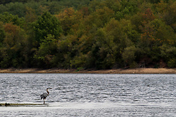 30 July 2012:  During the drought of 2012, a great blue heron is spotted on a normally submerged sand bar in the middle of Evergreen Lake in McLean County of Illinois eating a small snake in the middle of the afternoon