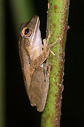 Four-lined Tree Frog (Polypedates leucomystax) from Danum Valley, Sabah, Borneo.