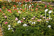 Geraniums plants on display inside nursery greenhouse