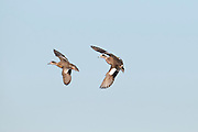 American Wigeon, Anas americana, Shiawassee River, Saginaw County, Michigan