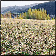 An orchard on the banks of the Columbia River, at Orondo, near Wenatchee. (Benjamin Benschneider / The Seattle Times)