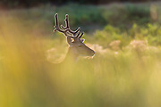 Fallow Deer (Dama dama) backlit in tall grass