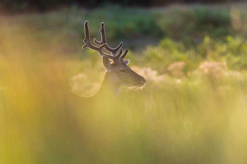 Fallow Deer (Dama dama) backlit in tall grass