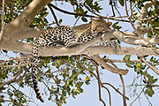 A beautiful Leopard (Panthera pardus) sleeps in a Fig-tree at Seronera, Serengeti, Tanzania.