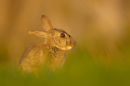 European Rabbit (Oryctolagus cuniculus)  adult at rest in wheat field, South Norfolk, England, April.