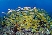 French Grunts (Haemulon flavolineatum) schooling on the Sugar Wreck in the Northern Bahamas.
