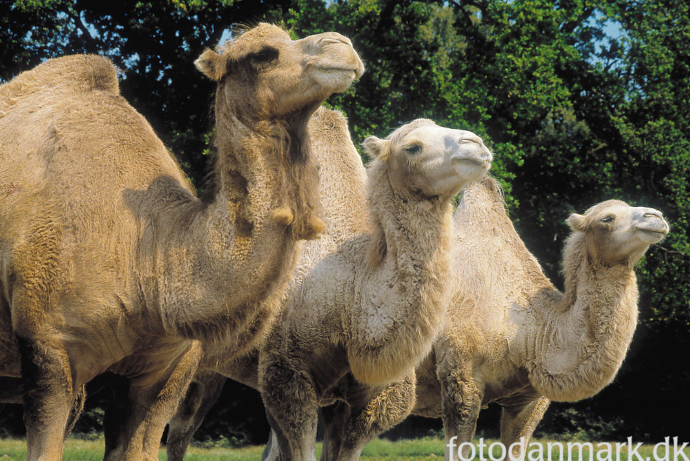 Three camels in Knuthenborg